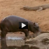 Hippo Attacks Crocodile: The Life of the Water Beasts
