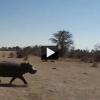 Hippo Attack Caught on Tape: Beware of the Headbump!