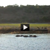 Hippos Surprise Tourists!