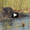 Hippo Gets Disturbed and Attacks!