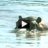 Amazing Rescue Video: Hippo Attacks Crocodile to Save a Life!