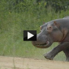 Gamekeeper Gets Attacked by Hippo in Uganda and Runs Away!