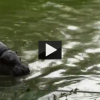 Hippo Chases Duck Family in London Zoo!