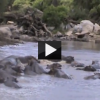 Hippos Attacking on Each Other Caught on Tape!