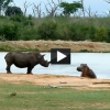 Hippo Vs. Rhino Fight
