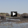 Caught on Tape: Hippo Charges on a Younger One
