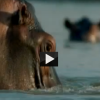 Animal Planet Animal Face-off on Bull Shark and Hippo