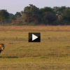 Lioness Saves Cub from Lion's Attack