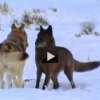Wrap-up Video: A Documentary on the Lives of Wolves