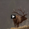 Nat Geo Video: Wolf Attacking an Elk