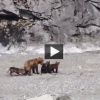 Pack of Hungry Wolves Surround Bear Family