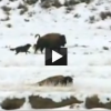 Wolves Target, Attack and Seclude Bison for Hunt